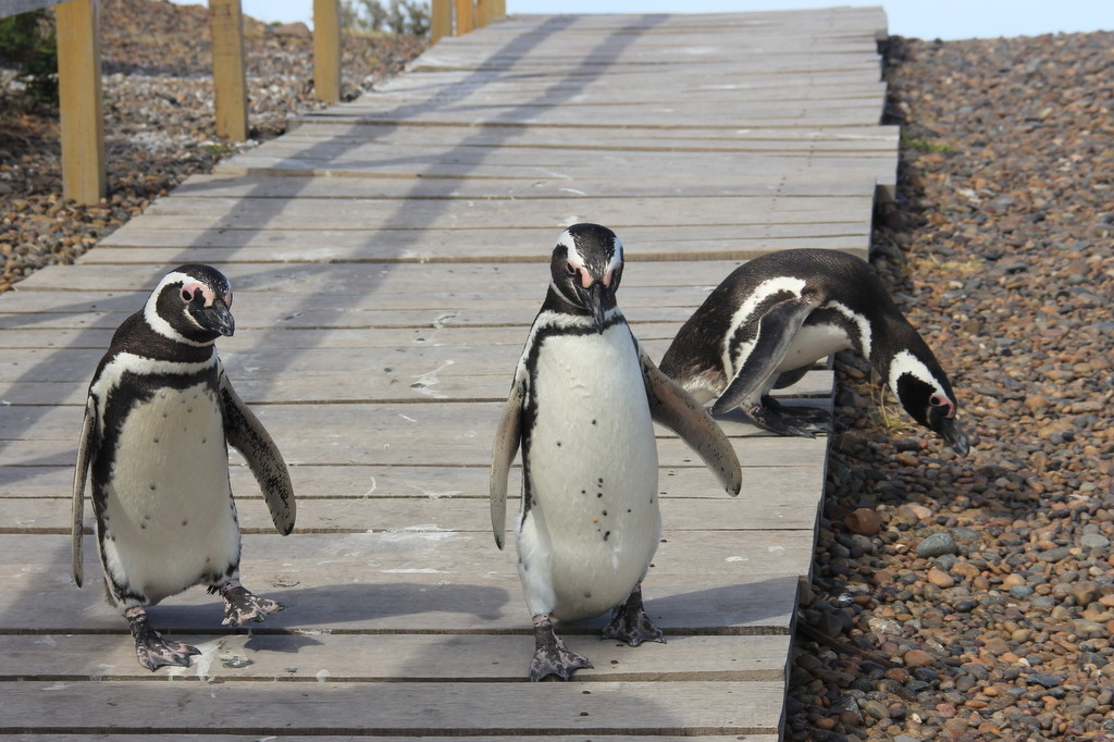 Punta Tombo - Pinguins de Magalhães (3)