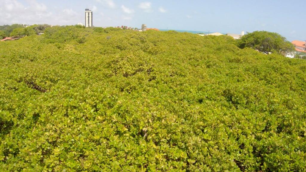 Maior árvore frutífera do mundo.